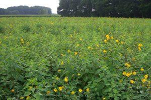 広大な菊芋畑